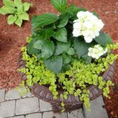 Urn with Hydrangeas